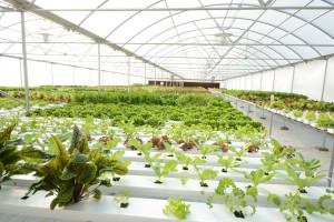 Red Acres Hydroponics Production